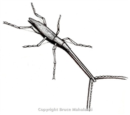 02 -Giraffe Weevil- picture
