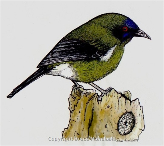 New Zeland  Bellbird- Picture