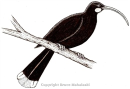 Huia- female- Picture