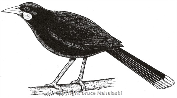 Huia- Male- Picture