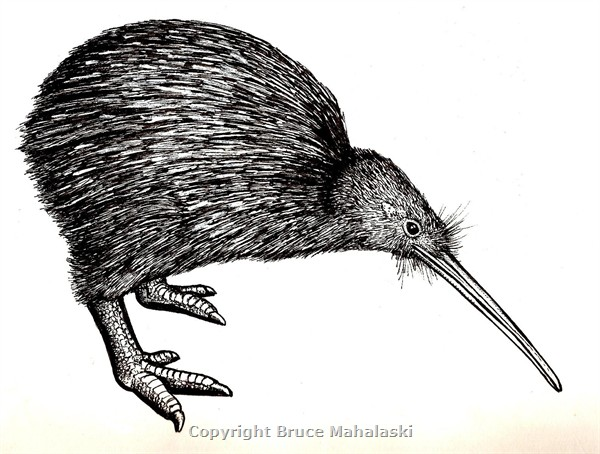 North Island Brown Kiwi Picture