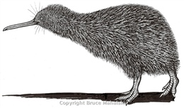 Little Spotted Kiwi Drawing