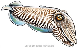 059 - Cuttlefish - Picture