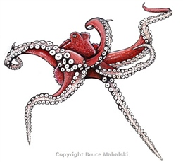 061 -  Common Octopus