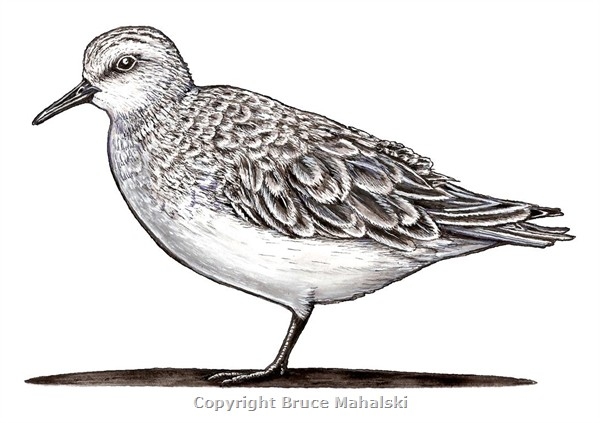 011 -  Red Necked Stint -colour picture