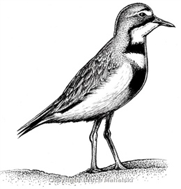 009 - Double banded Plover Picture