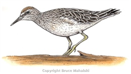 016 - Sharp tailed sand-piper picture (colour)