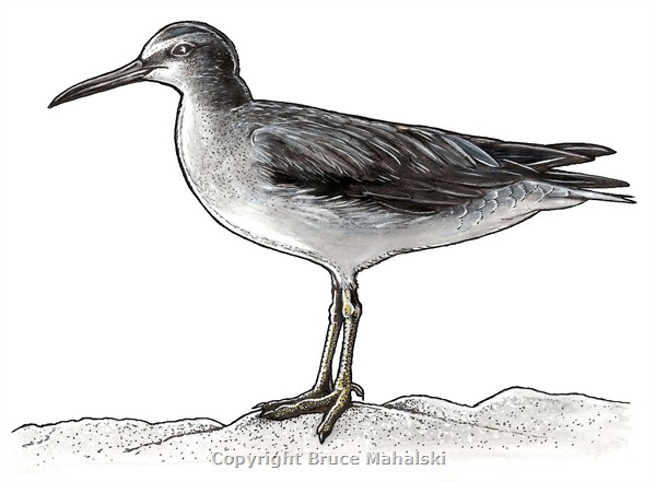 013 - Grey tailed tattler Picture