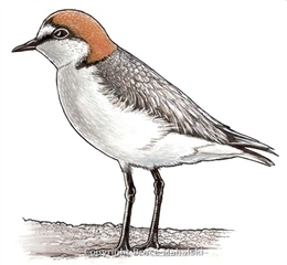 014 - Red Capped Plover - Picture