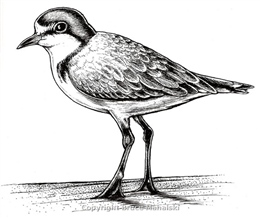 008 -  Red capped plover picture