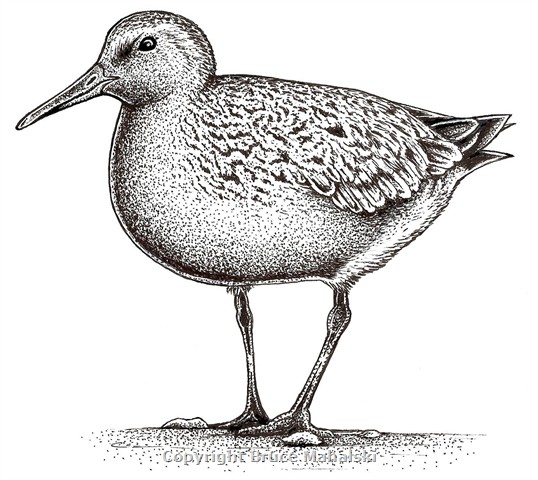 010 - Red Knot Picture(Black and white)