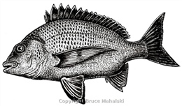 005 - Yellow-finned Bream Picture